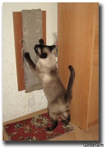 Удаление когтей у кошек - способы решение проблемы