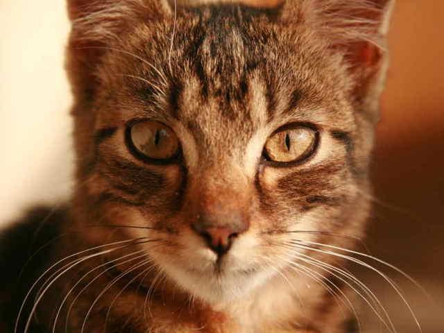 12 причины почему у кота идет кровь из носа - симптомы, лечение
