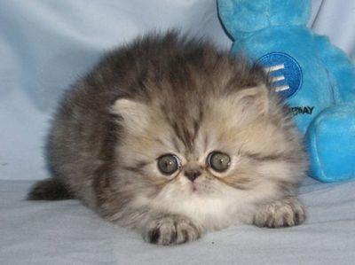 5 причин почему у кошки нет молока после родов