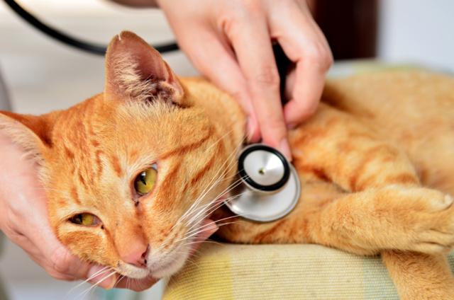 5 симптомов вирусной лейкемии у кошек - как лечить