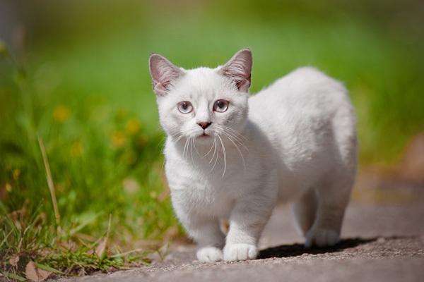 Порода кошек с маленькими лапками - фото, название и описание