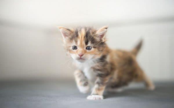 Как назвать трехцветную кошку девочку