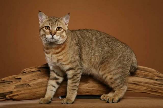 Кошки с кисточками на ушах - список пород