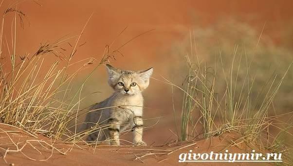 Барханная кошка - описание, характеристика, характер, цена породы
