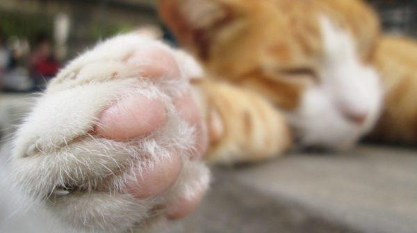 5 причин почему кот хромает на переднюю лапу - что делать