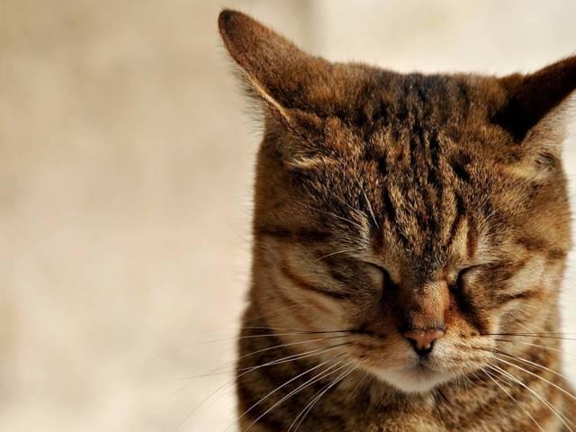 Температура у кота - что делать в домашних условиях, как сбить