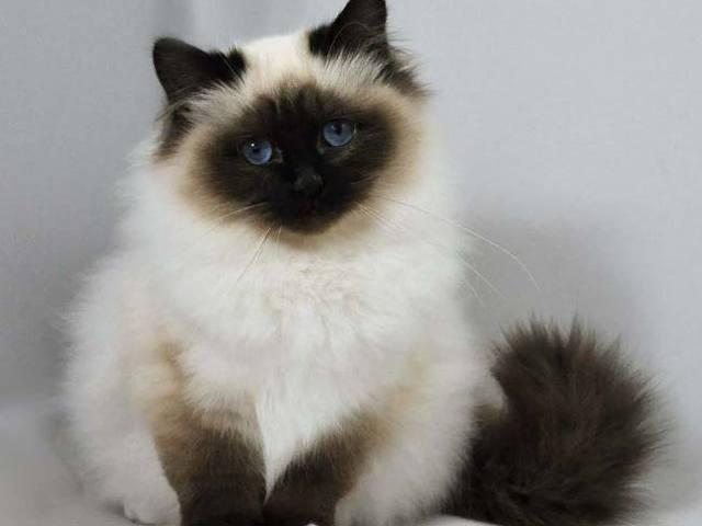 Как определить породу кошки - признаки и особенности