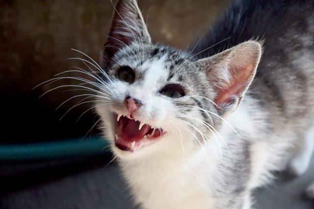 Чем опасен укус кошки - болезни от укусов