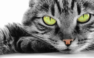 Огуречный цепень у кошек - лечение, профилактика, фото