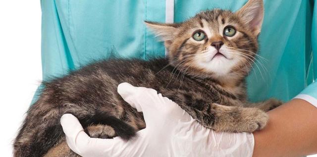 Какие прививки делают котятам - схема прививания
