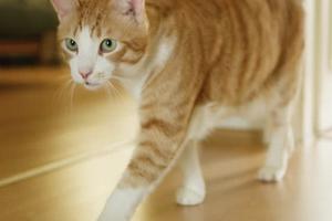 Кошка ходит кругами - что делать, симптомы заболеваний