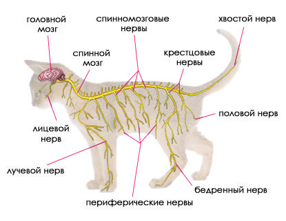 Фоспренил для кошек - инструкция по применению препарата