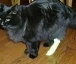 Ушиб лапы у кота - симптомы, лечение, определение
