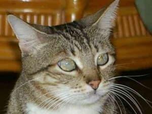 У кошки глаза наполовину закрыты плёнкой