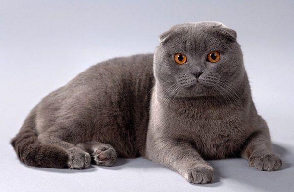 Когда сводить шотландскую вислоухую кошку?