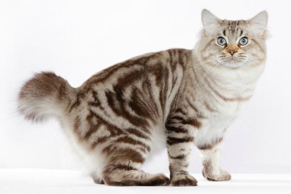 Породы кошек с коротким хвостом - название, описание и фото