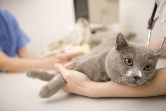 Амоксоил для кошке: инструкция по применению