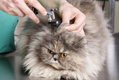 Опухоль в ухе у кошки - симптомы и лечение