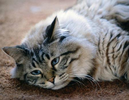 Как усыпляют кошек в ветклиниках - Эвтаназия в домашних условиях
