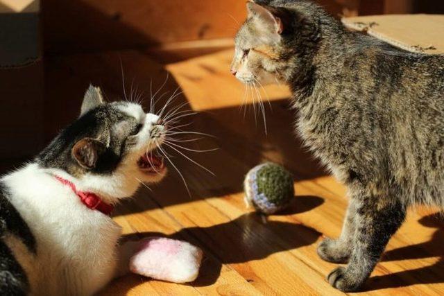 Агрессивный котенок - причины и что делать
