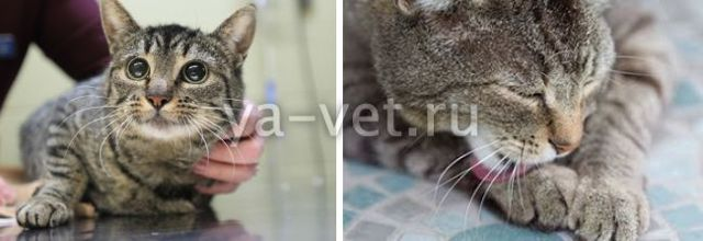 5 причин стафилококка у кошек - симптомы и лечение