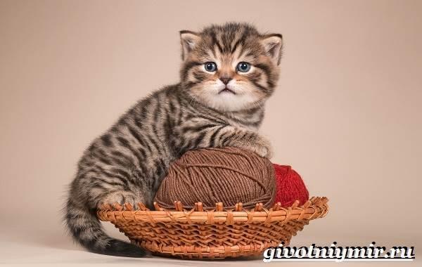 Тигровая кошка - описание, характер, внешний вид