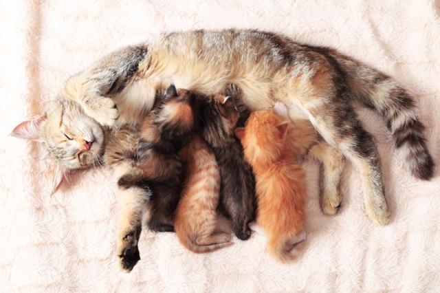 Эклампсия у кошек после родов - 9 симптомов заболевания