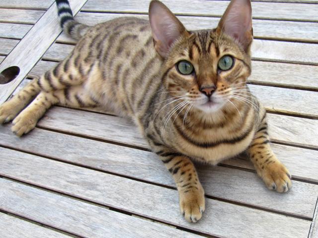 Токсоплазмоз у кошек - симптомы, причины и лечение