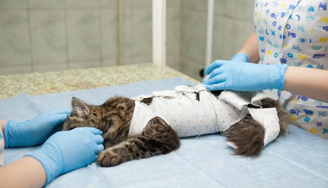 Стерилизация кошек лапароскопическим методом - плюсы и минусы