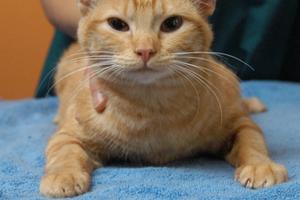 3 причины, почему кот не наступает на лапу - что делать