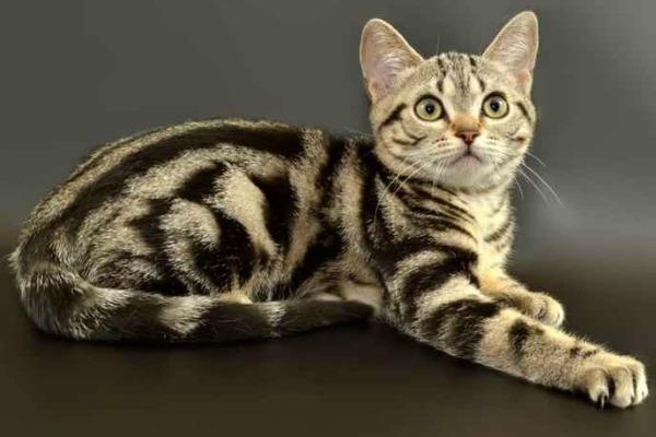 Кошки с круглыми ушами - список и описание пород