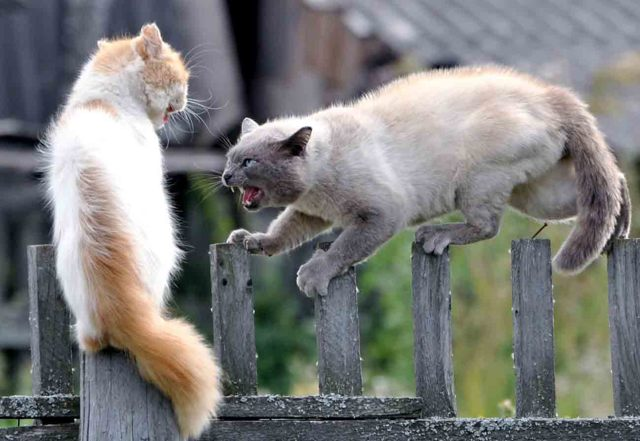 Кошки дерутся - причины и что делать