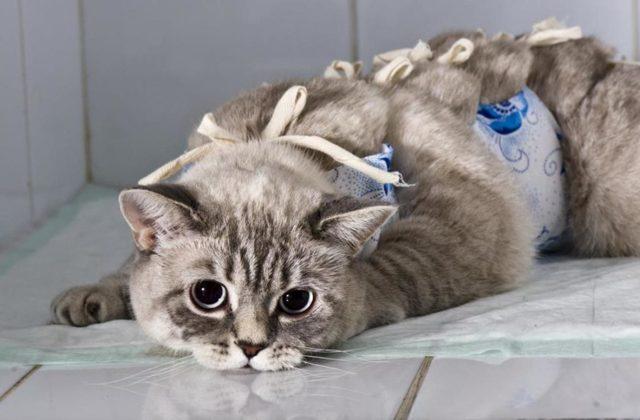 ТОП причины выкидыша у кошки и что делать