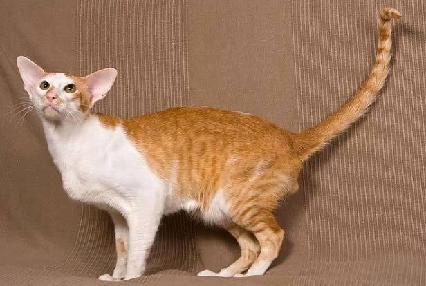 Гипоаллергенные кошки - описание пород с фото