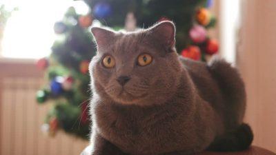 Самые агрессивные породы кошек - список пород