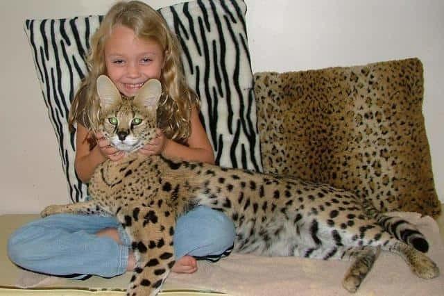 Сервал кошка - описание, характеристика, характер цена