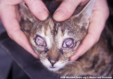 Инфекционный ринотрахеит кошек - симптомы, лечение, прогноз
