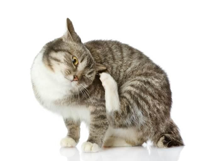 7 симптомов аллергии на блох у кошек -  лечение и диагностика
