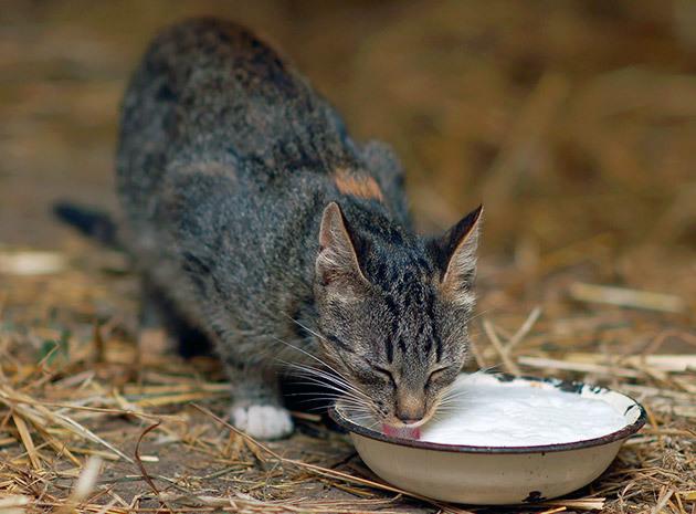 Можно ли кошкам давать молоко?