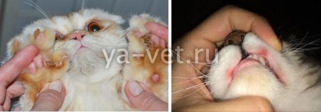 Эозинофильная гранулема у кошки: что делать