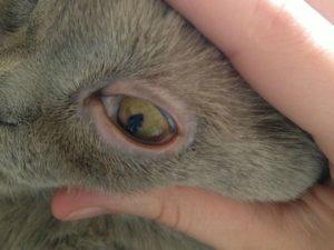 Почему у кота красные глаза - причины, болезни, профилактика