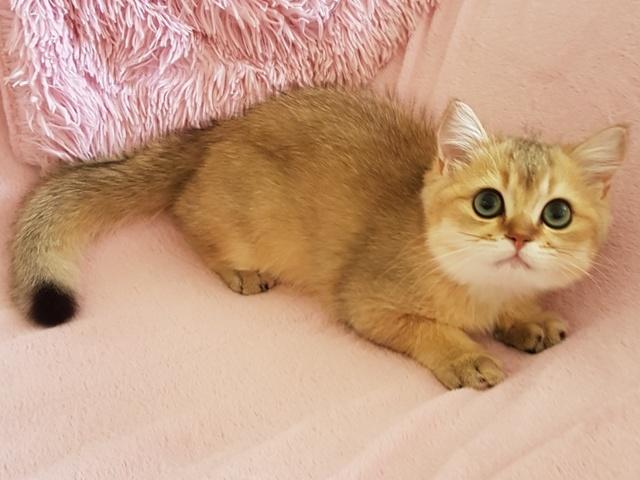 Кошка золотая шиншилла - описание, фото и характеристика