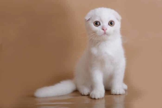 Китайская кошка - фото, описание, характеристика и характер породы