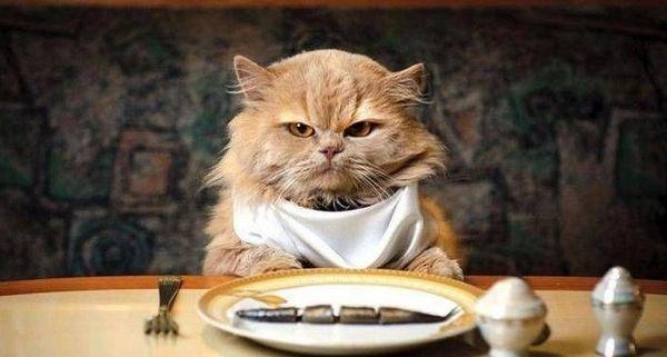 Как перевести кошку на другой корм - причины смены рациона