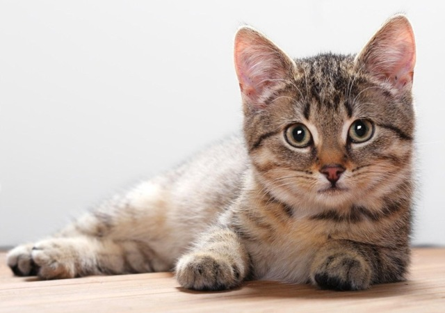 8 причин почему кот хромает на заднюю лапу - как лечить