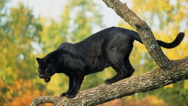 Самая быстрая кошка в мире - топ 10 пород