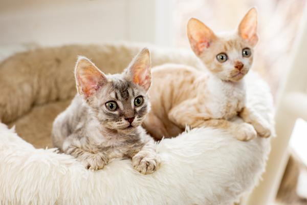 Кого лучше завести кота или кошку в квартире