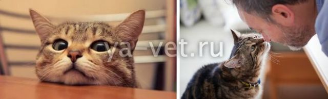 Лимфома у кошек - симптомы, лечение и прогноз