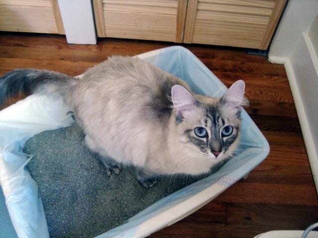 12 причин почему кот ходит в туалет с кровью по маленькому