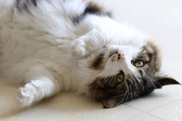 Почему у кота горячие уши - причины и лечение